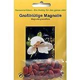 Bonsai - 20 Samen von Magnolie, Magnolia grandiflora, 90066
